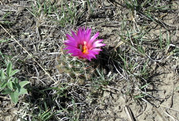 Wyoming Cactus Bloom
